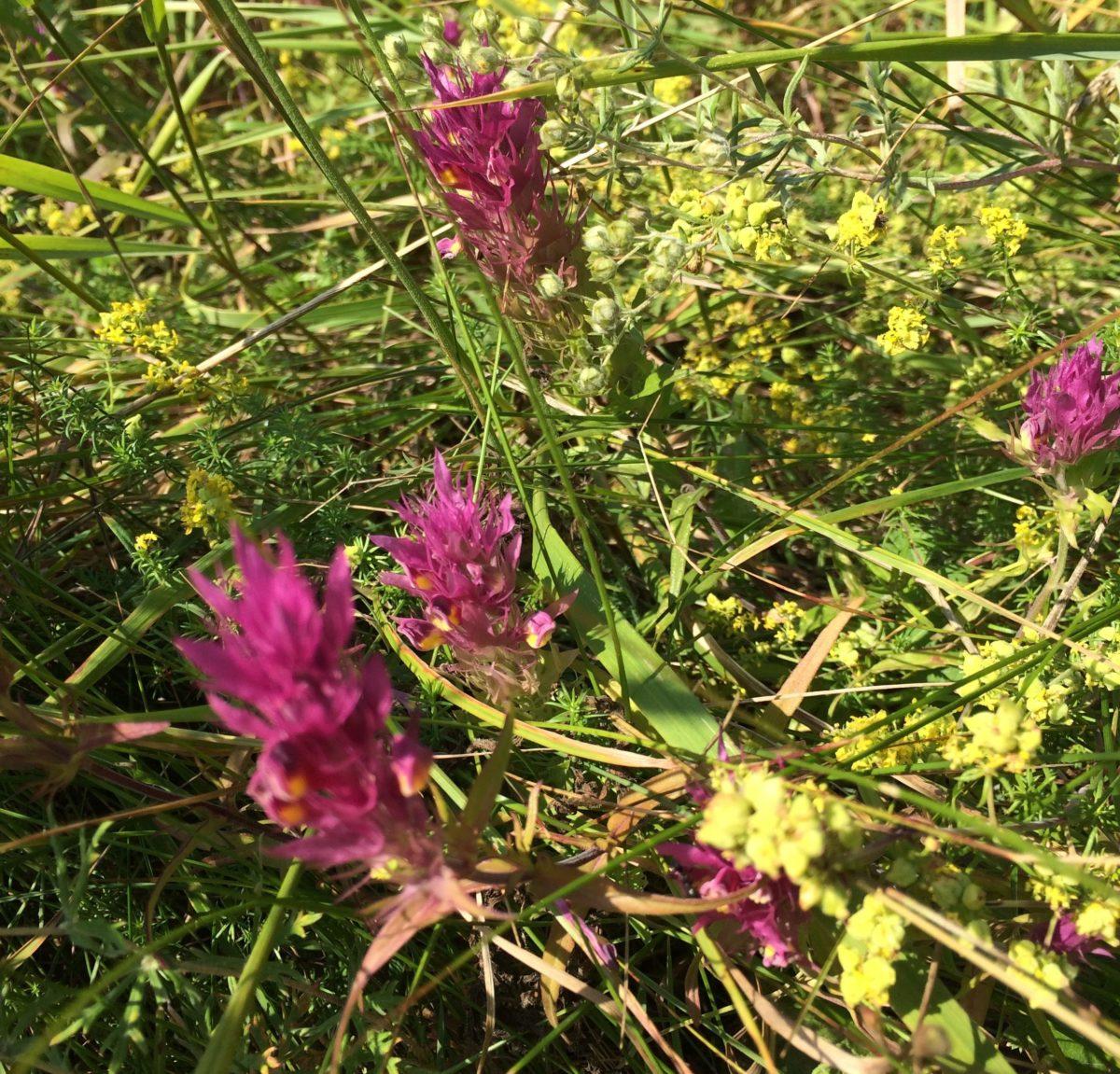 Field Cow-wheat (Melampyrum arvense). Photo Taru Elfving.